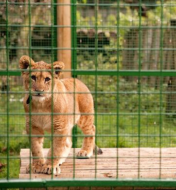 Leeuwenwelp duurzaam reizen.jpg
