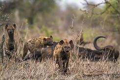 Hyena 5.jpeg
