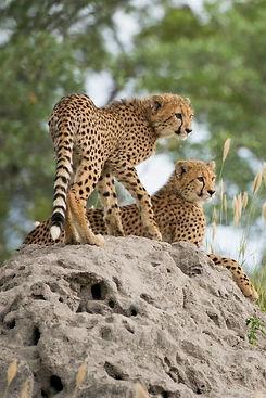 Cheetah safari.jpg