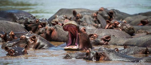 Nijlpaard.jpeg