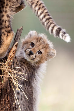 Cheetah 31.jpeg