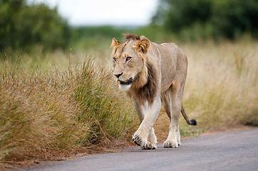 Leeuwen 61.jpeg