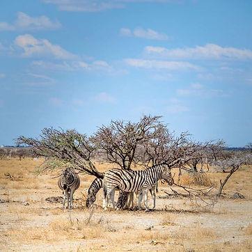 Zebra's Etosha