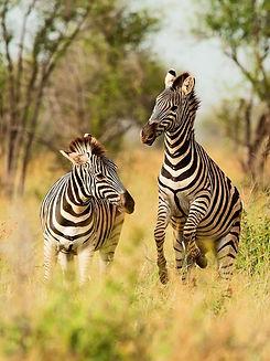 Zebra 2-min.jpeg
