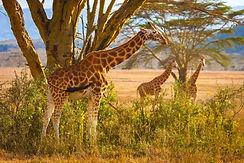 Giraffen Kruger Park.jpg