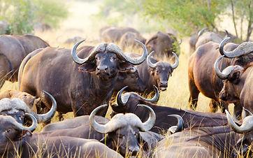 Buffels 2.jpeg