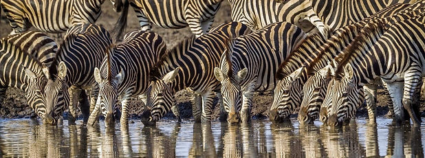 Zebra's Zuid-Afrika.jpg