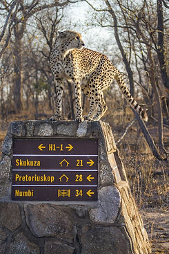 Cheetah 30.jpeg