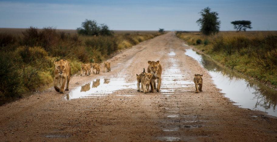 Leeuwen Zuid-Afrika header.jpeg