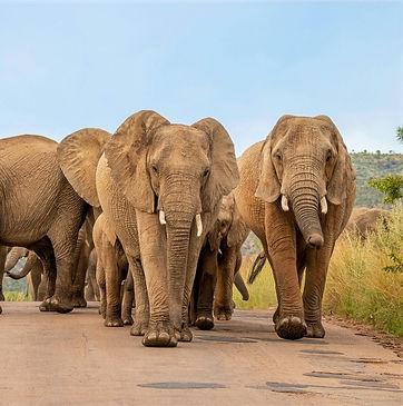 Olifanten Zuid-Afrika Addo.jpg
