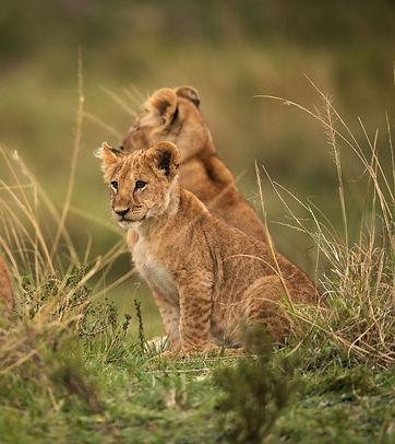 Leeuwen Zuid-Afrika.jpg