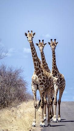Giraffen 15.jpeg