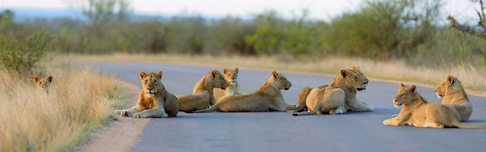Leeuwen Kruger Park header.jpg