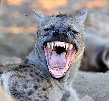 Hyena.jpeg