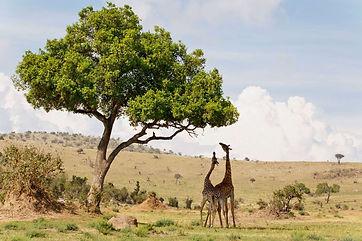Giraffen 16.jpeg