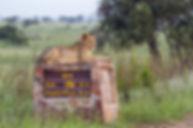 Leeuw Kruger Park Zuid-Afrika.jpg
