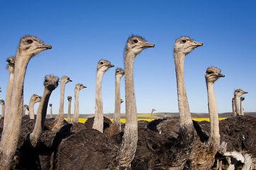 Oudtshoorn struisvogels.jpg