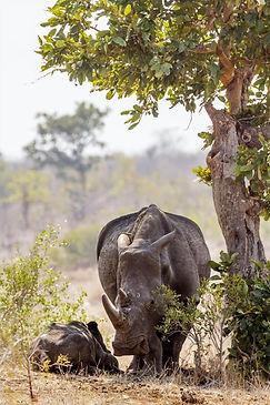 Neushoorn Kruger Zuid-Afrika.jpg