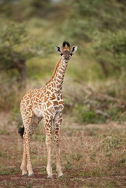 Giraffe 1-min.jpeg