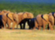 Olifanten Zuid-Afrika.jpg