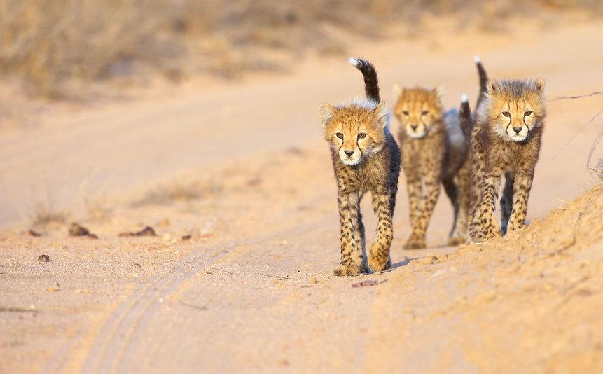 Cheetah header.jpg