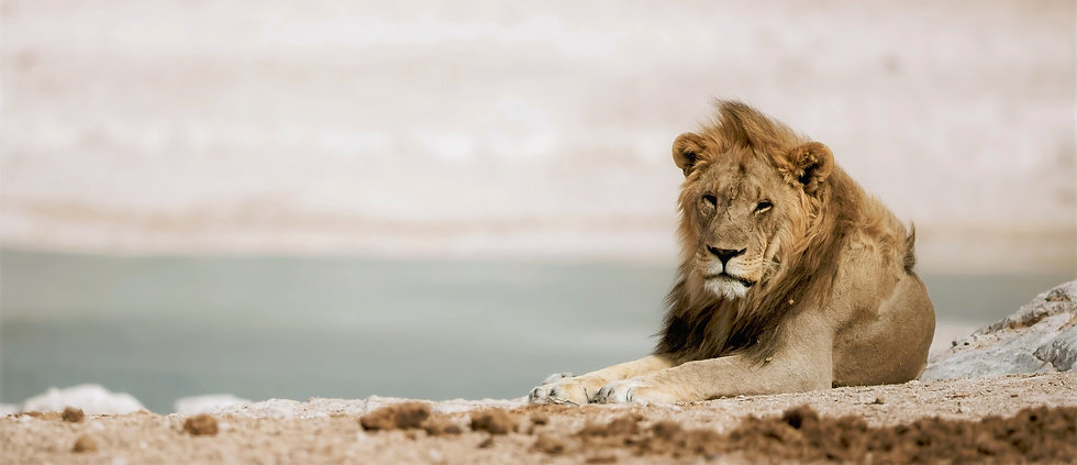 Header Kuyo Afrika leeuw.jpg