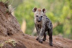Hyena 2.jpeg