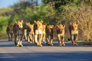 Leeuwen Zuid-Afrika.jpeg