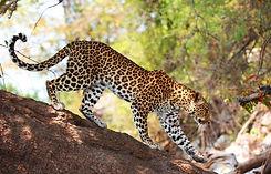 Luipaard Zuid-Afrika.jpg