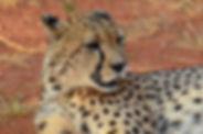 Cheetah Okonjima.JPG
