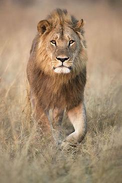 Leeuw safari.jpeg