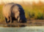 Nijlpaard 2 min-min.jpg