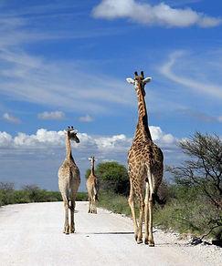 Giraffen Etosha.jpg