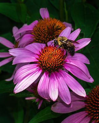 0149-bee-on-mum-web copyright.jpg