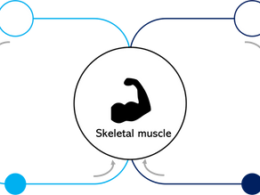 Ex-vivo Organ Perfusion: Application to the study of skeletal muscle in rats