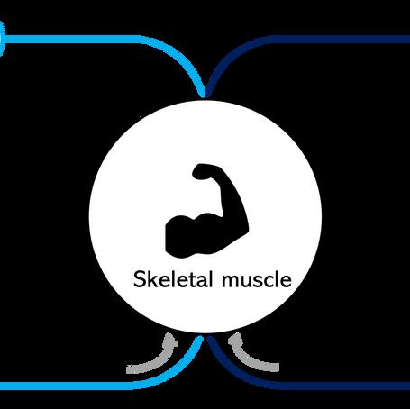 【Ex-vivo臓器灌流】ラット骨格筋の研究への応用例