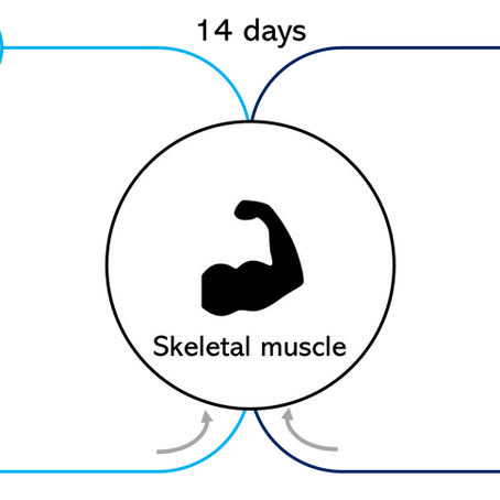 【Ex-vivo臓器灌流】筋肉・骨格研究への応用例(14日間の長期灌流)