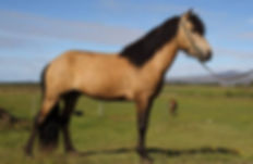 breeding horse in selfoss