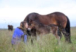 foal in Iceland
