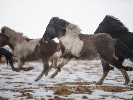 Blue dun pinto, born 2020, stallion