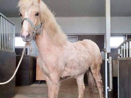 Ljósvíkingur, born 2020, stallion