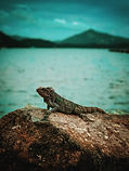 An iguana lazily suns himself on a rock