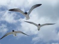 Caribbean gulls