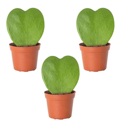 Hoya Heart Shaped Succulent