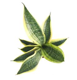 Sansevieria Indoor Plant