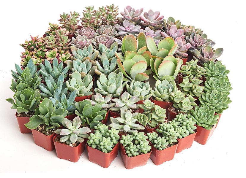 Pastel Succulent Set of 40
