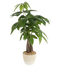 Money Tree in Planter