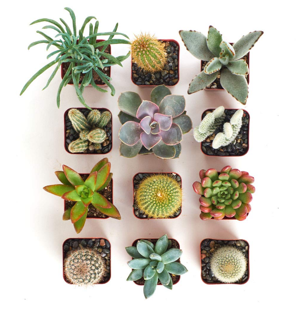 Cactus and Succulent Set of 12