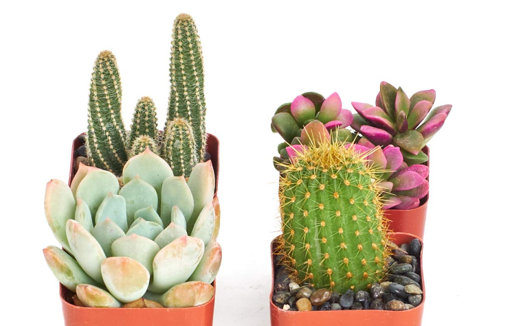 Cactus and Succulent Set of 4