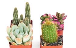 Cactus and Succulent Set of 4